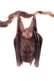 Egyptian fruit bat isolated on white. Egyptian fruit bat or rousette, Rousettus aegyptiacus. on white background Royalty Free Stock Photos