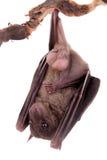 Egyptian fruit bat isolated on white Stock Photos