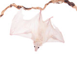 Egyptian fruit bat isolated on white Royalty Free Stock Photography