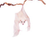 Egyptian fruit bat isolated on white