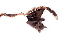 Egyptian fruit bat isolated on white Royalty Free Stock Photo