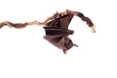 Egyptian fruit bat isolated on white. Egyptian fruit bat or rousette, Rousettus aegyptiacus. on white background Royalty Free Stock Photo