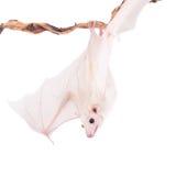 Egyptian fruit bat isolated on white Royalty Free Stock Image