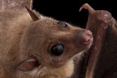 Egyptian fruit bat or rousette, black background. Close-up Egyptian fruit bat or rousette, Rousettus aegyptiacus. on isolated black background Stock Photos