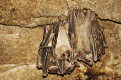 Egyptian fruit bats Stock Photos