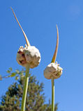 Egyptian Garlic Seed Heads Growing In A Garden. Under a blue sky royalty free stock image