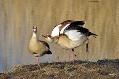Egyptian Geese Royalty Free Stock Photography