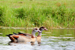 Egyptian Geese Stock Photography