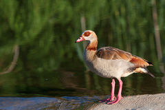 Egyptian Geese. Standing on dam wall Stock Photo