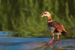 Egyptian Geese. Standing in water Royalty Free Stock Photos