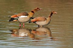 Egyptian geese Royalty Free Stock Photo
