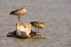 Egyptian geese (Alopochen aegyptiaca) Stock Photos