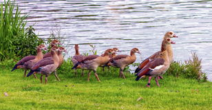 Egyptian geese, alopochen aegyptiacus,and babies. Walking on the grass near the water Stock Photography