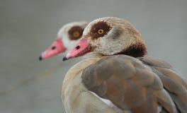 Egyptian Geese Alopochen aegyptiacus headshots. Royalty Free Stock Photos