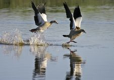 Egyptian geese (Alopochen aegyptiacus) landing. At Rietvlei, Cape Town, South Africa Royalty Free Stock Photo