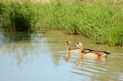 Egyptian Geese (Alopochen aegyptiacus). Swimming in Kruger National Park, South Africa Royalty Free Stock Images