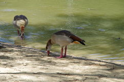 Egyptian geese (Alopochen aegyptiacus). Two Egyptian geese at a city park duck pond in San Antonio, Texas stock photos
