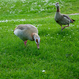 Egyptian Geese alopochen aegyptiacus. Wandering through the Grass Stock Photography