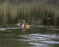 Egyptian Geese - Birds of The Great Lumpopo Transfrontier Park royalty free stock photography