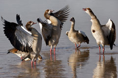 Egyptian Geese - Botswana Stock Photo