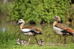 Egyptian Geese and chicks Royalty Free Stock Photography