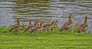 Egyptian geese with chicks Royalty Free Stock Photos