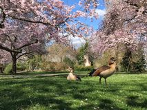 Egyptian geese royalty free stock image