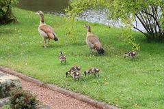 Egyptian Geese Family in a Rose Garden stock image