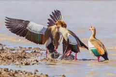 Egyptian Geese Fighting. Male Egyptian Geese fighting over the smaller female. Their strong bills can cause much damage and bites are painful.  Thus the kicking Stock Image
