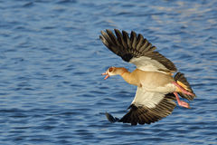 Egyptian geese in flight. At waterhole in Etosha National Park, Namibia Stock Photo