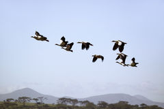 Egyptian Geese fly in formation above Lake Naivasha, Great Rift Valley, Kenya, Africa Royalty Free Stock Image