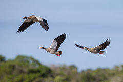 Egyptian geese flying South Africa Stock Photography