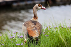 Egyptian Geese Goose Grass stock images