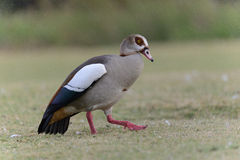 Egyptian Geese Royalty Free Stock Images