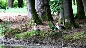 Egyptian geese near dutch pond, Voorstonden stock video
