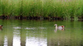Egyptian geese are swimming in a dutch pond stock footage