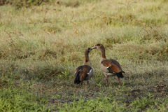 Egyptian Geese: Tender Beak Kiss Royalty Free Stock Photos