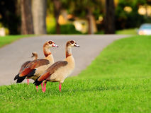 Egyptian Geese Walking Stock Photos