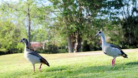 Egyptian geese walking Stock Photography