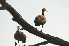 2 Egyptian Geese. The geese was in a dry tree on the tar road near Skukuza Stock Photos