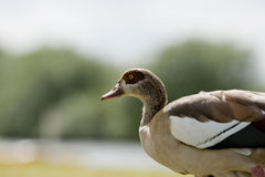 Egyptian geese Stock Image
