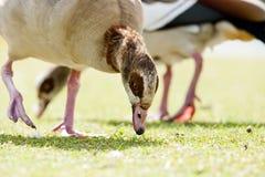 Egyptian geese Stock Photo