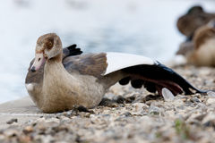 Egyptian geese Stock Images