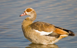 Egyptian Goose Royalty Free Stock Images