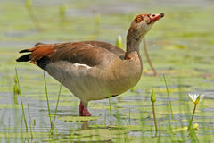 Egyptian goose. (Alopochen aegyptiacus) in water, Kruger National Park, South Africa Stock Image
