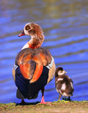 Egyptian Goose. With gosling - Alopochen aegyptiacus related to the shelduck, this pale brown and grey goose has distinctive dark brown eye-patches and Royalty Free Stock Photo