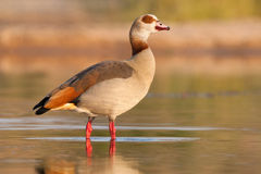 Egyptian goose. An Egyptian goose standing in shallow water Stock Photos