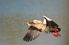 Egyptian goose. Common resident.  Solitary, in pairs or in flocks.  Occurs on large freshwater bodies.  Pink legs and bill Royalty Free Stock Photo