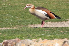 Egyptian goose Royalty Free Stock Image