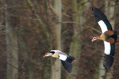 Egyptian Goose Royalty Free Stock Photos